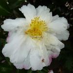 Camellia sasanqua Vanessa (1)