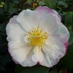 Camellia sasanqua Vanessa