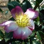 Camellia sasanqua Variegata