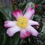 Camellia sasanqua Variegata (3)
