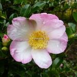 Camellia sasanqua Versicolor (3)