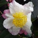 Camellia sasanqua Yae Arare