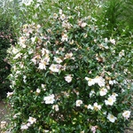 Camellia sasanqua Yae Arare (2)