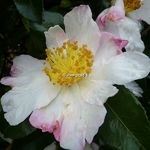 Camellia sasanqua Yae Arare (3)