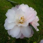 Camellia vernalis Star Above Star (3)