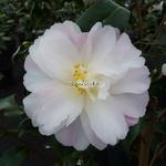 Camellia vernalis Star Above Star (4)