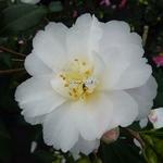 Camellia vernalis Star Above Star (5)