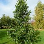 Ilex koehana Chesnut Leaf (1)