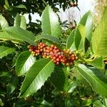 Ilex koehana Chesnut Leaf (2)
