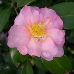Camellia sasanqua Winters Interlude