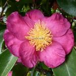 Camellia sasanqua Kishar (1)