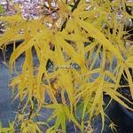 Acer palmatum Linearilobum (1)