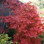 Acer palmatum Pixie (2)