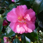 Camellia sasanqua Shishigashira (2)