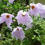 Dahlia imperialis (5)