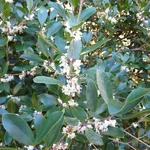 Osmanthus heterophyllus Purpureus (3)