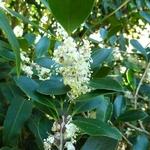 Osmanthus heterophyllus Purpureus (1)