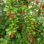 Berberis koreana Red Tears (5)
