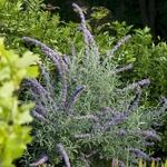 Buddleja alternifolia Argentea (4)