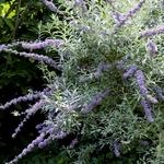 Buddleja alternifolia Argentea (5)