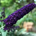 Buddleja davidii Black Knight (2)