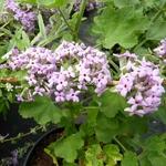 Buddleja alternifolia Argentea (1)