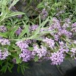 Buddleja alternifolia Argentea (3)