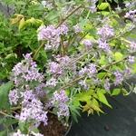 Buddleja alternifolia Argentea (2)
