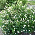Clethra alnifolia Hummingbird (1)