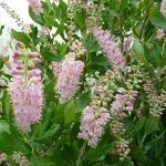 Clethra alnifolia Ruby Spice (13)