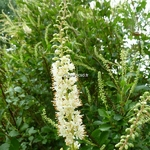 Clethra alnifolia September Beauty (3)