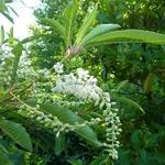 Clethra barbinervis (6)