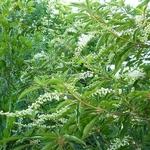 Clethra barbinervis (3)