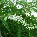 Clethra barbinervis (4)