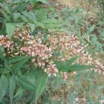 Nandina domestica Plum Passion (1)