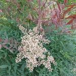 Nandina domestica Plum Passion (7)