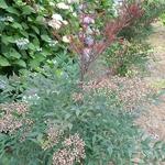 Nandina domestica Plum Passion (3)