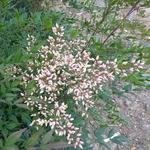 Nandina domestica Plum Passion (5)