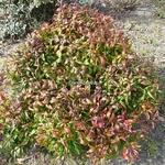 Nandina domestica Pygmaea (3)