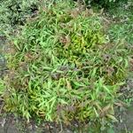 Nandina domestica Pygmaea (5)
