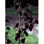 cercidiphyllum-japonicum-rotfuchs