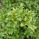 Osmanthus heterophyllus Goshiki (2)