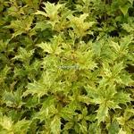 Osmanthus heterophyllus Goshiki (3)