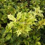 Osmanthus heterophyllus Goshiki (4)