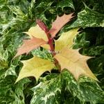 Osmanthus heterophyllus Goshiki (5)
