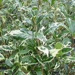 Osmanthus heterophyllus Kinbu