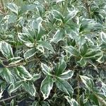 Osmanthus heterophyllus Kinbu (2)
