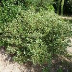 Osmanthus heterophyllus Kinbu (4)