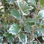 Osmanthus heterophyllus Latifolius Variegatus (1)