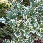 Osmanthus heterophyllus Latifolius Variegatus (2)